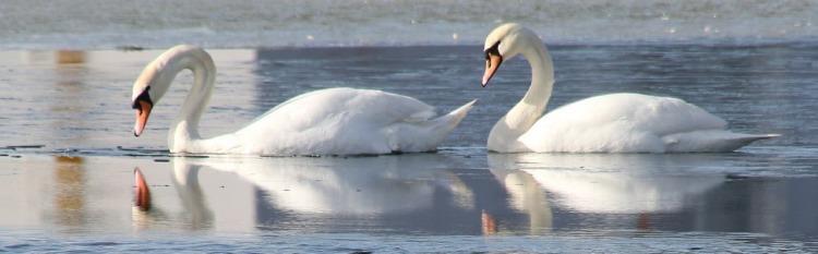 swan-1203535_1280